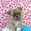 ชิวาวาเพศผู้ ขนยาวสีน้ำตาล ตัวเล็กน่ารัก (สุนัขบ้าน-รับประกันโรค)