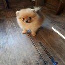 ขายลูกปอมหน้าหมีตัวผู้สีส้ม 1 ตัวครับลูกหมาที่บ้านเลิ้ยงเองครับ
