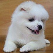 ลูกสุนัขปอมเมอเรเนียน เพศหญฺิง
