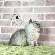 ลูกแมวเปอร์เซีย