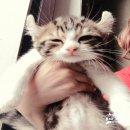 ลูกแมวอเมริกัลเคิลล์