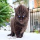 ลูกแมว เปอร์เซีย สายพันธุ์แท้ สีดำ เพศหญิง