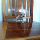 ลูกสุนัขชิวาวาพันธุ์แท้ ตัวละ4900 บาทครับ