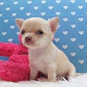 ชิวาวา เพศผู้ ขนสั้น สีครีม ตัวเล็กสุดๆ หัวโตสวยมาก  (สุนัขบ้าน-รับประกันโรค)