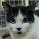ขายแมว Scottish fold เพศเมีย 2