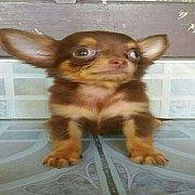 ต้อนรับเทศกาลแห่งความสุข SALE!!! ด.ช.ฟาโรห์ ลูกสุนัขชิวาวา ขนยาว สีช๊อค ขนแน่น หล่อมากๆ