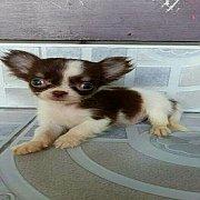 ต้อนรับเทศกาลแห่งความสุข SALE!!! ด.ช.ไซกิ ลูกสุนัขชิวาวา ขนยาว ตาโต หน้าสั้น หัวใหญ่ โหนกๆ