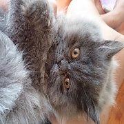 ลูกแมวเปอร์เซีย สีเทาเงิน เพศเมีย