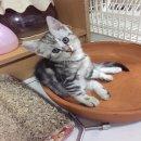 ลูกแมวอเมริกันช๊อตแฮร์