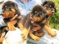 ขายสุนัขบ้านครับ ร็อตไวเลอร์สายเยอรมัน สวย ๆ (มีบริการจัดส่ง)