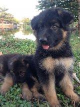 ขายลูกสุนัขเยอรมัน เซพเพอร์ด ผู้ 3 เมีย 1 ขนยาว (ขายเเล้วครับ)