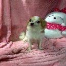 HAPPY DOG HOME ขายแม่พันธ์ชิวาว่าขนยาวขนแน่น จ่ายลูกสีช็อกค่ะ มีลูกแล้ว 1 คอก น่ารักนิสัยดีค่ะราคาไม