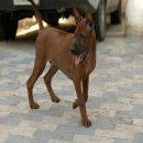 จำหน่ายลูกสุนัขไทยหลังอาน แท้ 100%