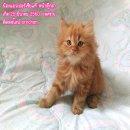 น้องแมวเปอร์เซียแท้ หน้าตุ๊กตา สีน้ำตาล เพศชาย หล่อเท่สาวกรี๊ด