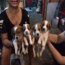 ขายลูกสุนัขพันธุ์แจ็ครัสเซล แท้ 100% #ปิดการขาย#