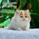 เปิดจองลูกแมวเปอร์เซีย เพศเมีย สีขาวส้ม