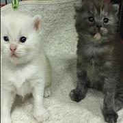 เปิดจองลูกแมวสก๊อตติชโฟลด์แท้ เพ็ดไทย SCFC