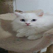 ขายscottish foldสีขาว หูตั้ง ตาฟ้า ขนยาว อายุ3เดือน