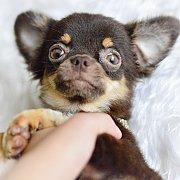 LITTLE DOG'S FARM : ลดพิเศษ!! ชิวาวาขนยาว อายุ 8 เดือน อนาคตพ่อพันธุ์จ้า