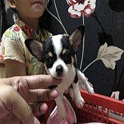 ขายชิวาวา เพศเมีย สีแบล็คแทนคอขาว ขนสั้น1 ไซร์เล็ก อายุ 2 เดือน สวยใส น่ารัก