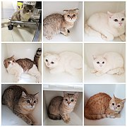 ขายแมว Scottish fold สายพันธุ์แท้ อายุ 6เดือน-1ปี (มีหลายตัวเข้ามาดูก่อนได้ครับ)