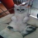 ลูกแมวชินชิล่า ซิลเวอร์ ช็อตแฮร์ (ขนสั้น) อายุ 5 เดือน เพศเมีย แม่สายพันธุ์ดี CFA