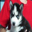 ขายสุนัขไซบีเรียนฮัสกี้ สุนัขบ้าน ไม่มีใบเพ็ด 6,900 บาท