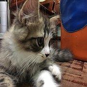 น้องแมว สก็อตทิช ขนยาว หน้าตาแบ๊วๆ น่ารักสุดๆ พร้อมย้ายบ้านคะ