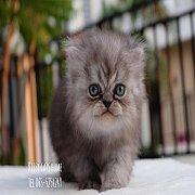 ลูกแมวเปอร์เซีย ซิลเว่อร์ แท็บบี้ เด็กชาย สายพันธุ์แท้