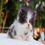 ลูกแมวเปอร์เซีย  ขาว-ดำ  เด็กชาย สายพันธุ์แท้