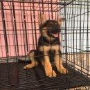 ขายลูกสุนัขเยอรมันเชพเพอร์ด โครงสร้างใหญ่ๆ (ขายแล้วครับ)