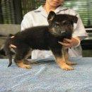 ขายลูกสุนัขเยอรมันเชพเพิร์ดสวยๆ โครงสร้างใหญ่ๆ