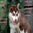 ขาย ไซบีเรียน ฮัสกี้,  กทม  มารับเองลดได้ครับ มีใบเพตดีกีรับลอง  ขาย หมาไซบีเรียน สวยๆกทม สะพ