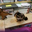 ขายลูกแมว American curl เพศเมีย วัย 2เดือน พร้อมส่งตัวแล้วค่ะ