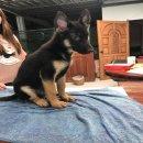 ขายลูกสุนัขเยอรมันเชพเพิร์ดสวยๆ โครงสร้างใหญ่ๆ  ผู้ 3 เดือน