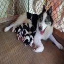 เปิดจองลูกสุนัขพันธ์บางเเก้ว  ขาวเทา  ขนหนาขาใหญ่ 7ตัว ผู้ 6 เมีย 1