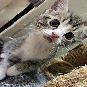 น้องแมวสก็อตทิชพร้อมย้ายบ้าน ขนยาวๆ ตาโตๆ แบ๊วสุดๆๆคะ