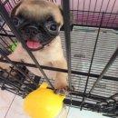ลูกสุนัขปั๊ก น่ารักขี้เล่น ฉีดยาเข็มแรก และถ่ายพยาธิ ราคา 6,500 เท่านั้น