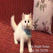 White Persian Kitten สาวน้อยเปอเซียร์แท้ บรีดนอก สีขาวออร่า ตา2สี น่ารักมาก มีใบเพ็ดดิกรี พร้อมย้ายบ
