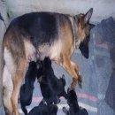 เปิดจองลูกสุนัขเยอรมัน เชพเพอร์ด โครงสร้างใหญ่มาก (ขายแล้วครับ)