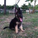 ขายลูกสุนัขเยอรมันเชพเพอร์ด 2 เดือน(ขายแล้วครับ)