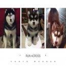 ขายสุนัขไซบีเรียน เพศผู้ สีดำขาว อายุ 3 เดือน