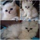 ลูกแมวชินชิล่า ซิลเวอร์ ช็อตแฮร์ (ขนสั้น) และลองแฮร์ (ขนยาว) อายุ 2 เดือน 4 ตัว แม่สายพันธุ์ดี CFA