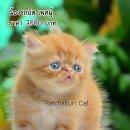 เปิดจองลูกแมวเปอร์เซีย สีส้ม เพศผู้