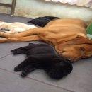 เปิดจองลูกสุนัขลาบราดอร์สายเลือดแชมป์อเมริกา มีใบเพ็ดดีกรี