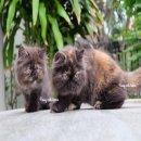 ลูกแมวเปอร์เซีย สายพันธุ์แท้ เพศหญิง ทั้งคู่ สีสวยมากคะ