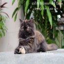 ลูกแมวเปอร์เซียสายพันธุ์แท้ เพศหญิง สีกระดองเต่า