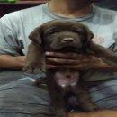 จำหน่ายลูกสุนัขลาบราดอร์สายเลือดแชมป์ มีใบเพ็ดดีกรี
