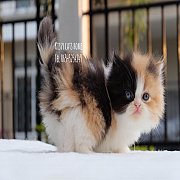 จองแล้ว ลูกแมวเปอร์เซีย สามสี คาลิโก้ เด็กหญิง สายพันธุ์แท้