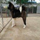 ลูกสุนัขอเมริกันอาคิตะเพศผู้มาตรฐานส่งออกเป็นฟาร์มอาคิตะที่ดีที่สุดในเอเชียINT. CH.,AM.TH.CH